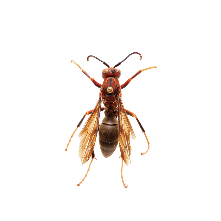 Paper Wasp, Polisities sp.
