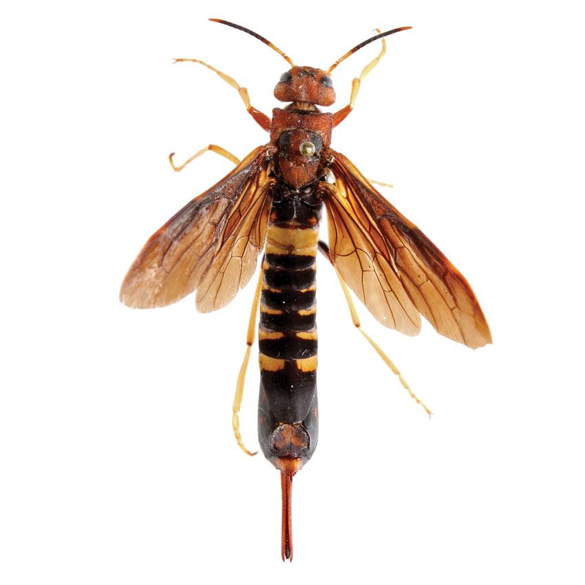 Piegon Horntail, Tremex columba