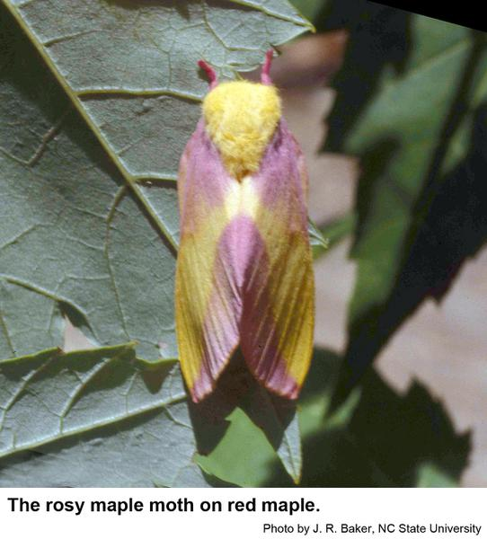 Rosy maple moths are about an inch long and are pink and yellow. Photo: J. Baker