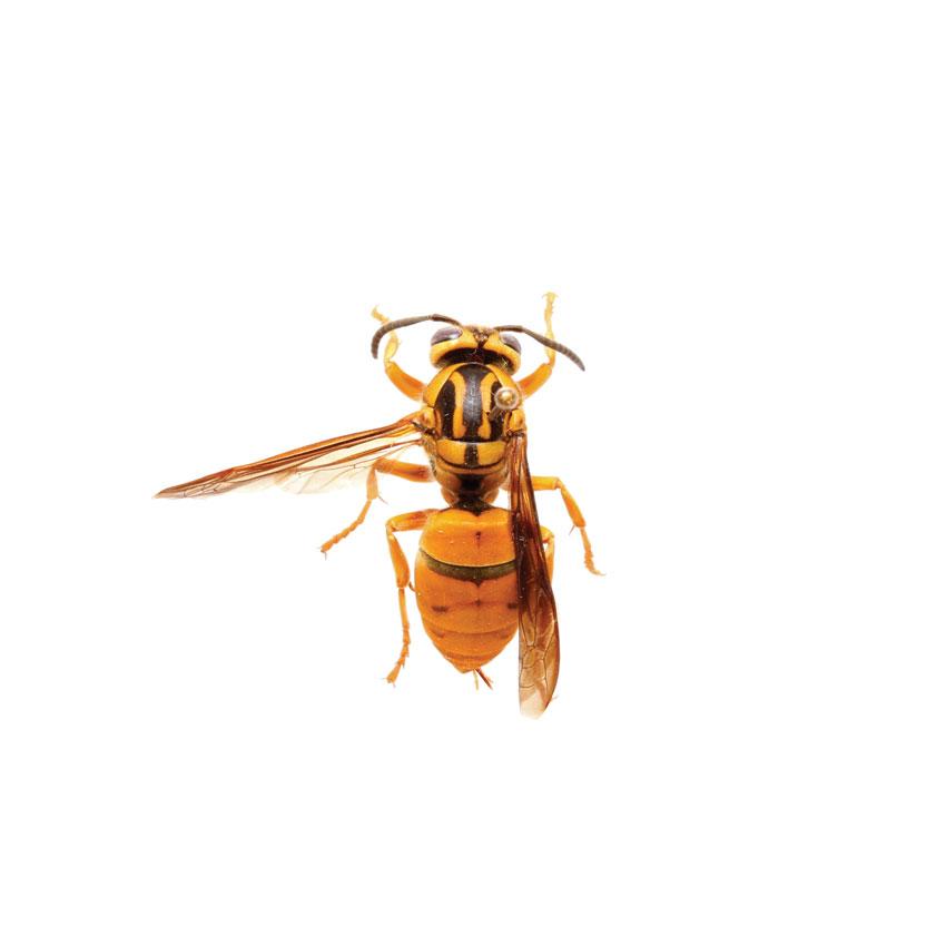 Southern Yellowjacket, Vespula Squamosa