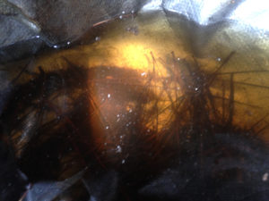 Mosquito larvae in water trapped in a tarp.