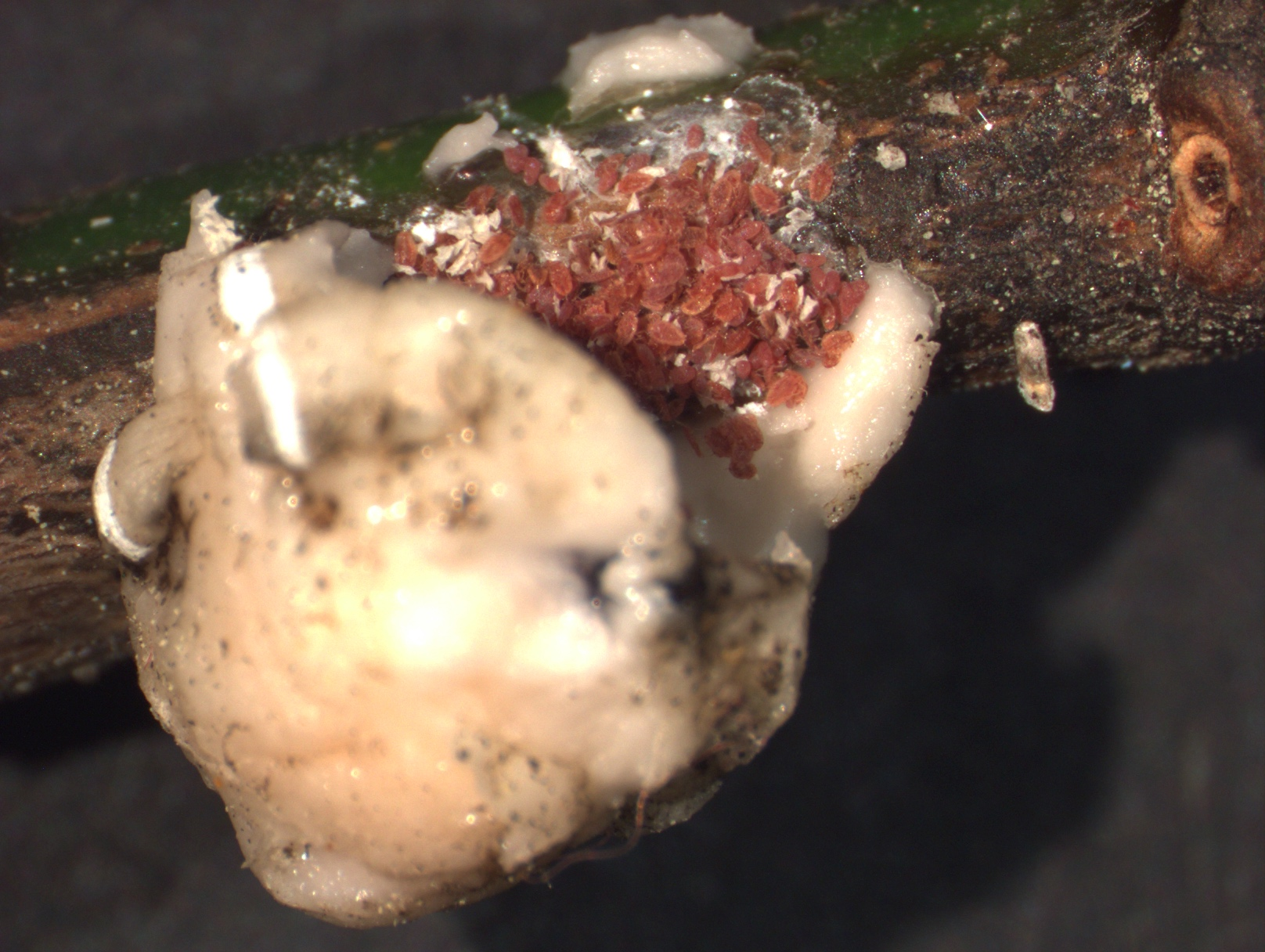 Crawlers hatching beneath a wax scale. Photo: SD Frank