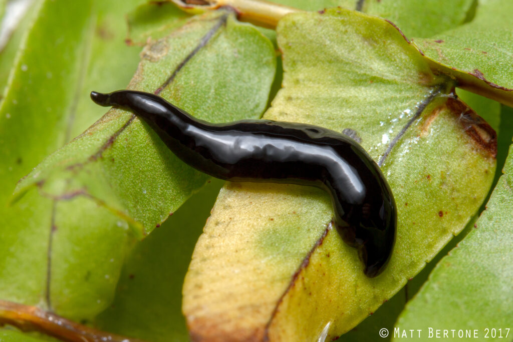 Small, black and shiny terrestrial flatworm