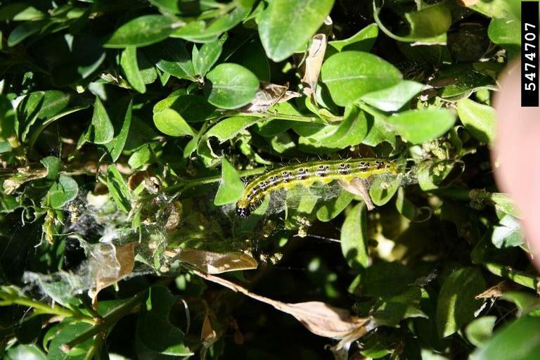 Box tree moth larva and webbing. Ferenc Lakatos, University of Sopron, Bugwood.org