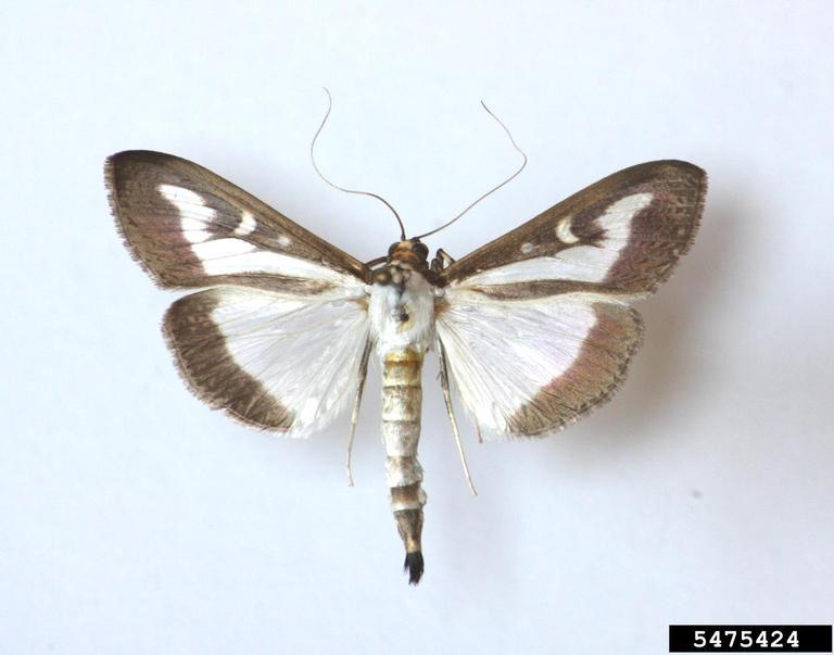 White morph box tree moth adults. Szabolcs Sáfián, University of West Hungary, Bugwood.org