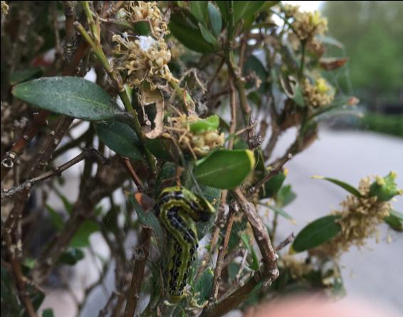 Box tree moth larva, webbing, and leaf damage. .S.D. Frank, NCSU