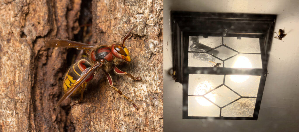 Picture of a European hornet next to a picture of several at a porch light